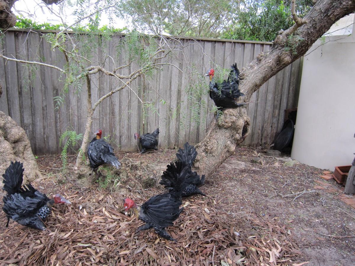 Turkeys under the Peppercorn tree