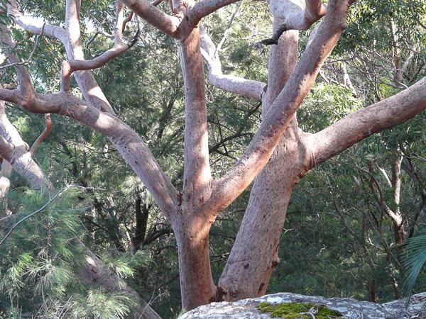 Tree, Bouddi Peninsula