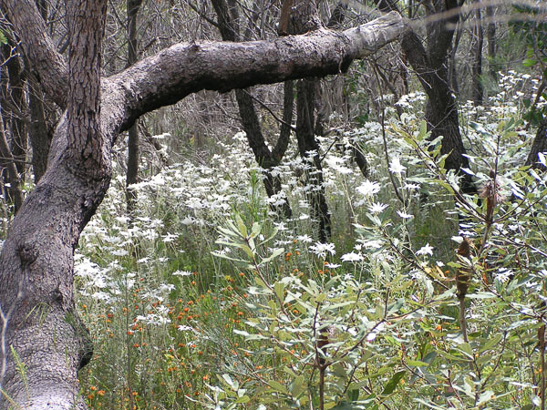 Wild Flannel Flowers in the Bushland