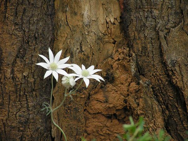 Delicate Flannel Flowers in Bouddi Peninsula