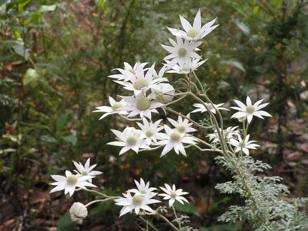 Cluster of Flannel Flowers, Daleys Point Walk (R.Bass)