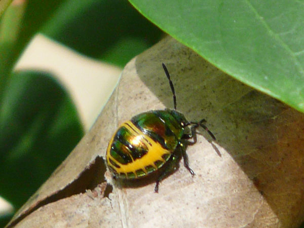 A Green and Yellow Beetle