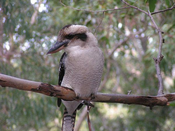 Kookaburra, Bouddi Peninsula