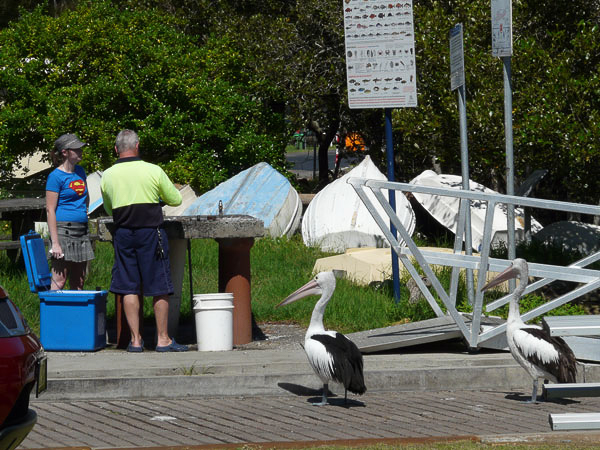 Pelicans Waiting for a Feed at Pretty Beach Boat Ramp