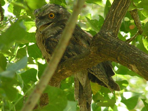 Tawny Frogmouth Owl, Bouddi Peninsula